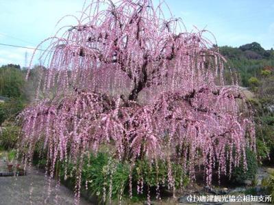 hanameguri2008022500.jpg