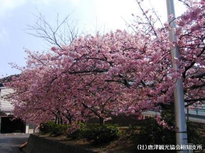 kanzakura2008030701.jpg