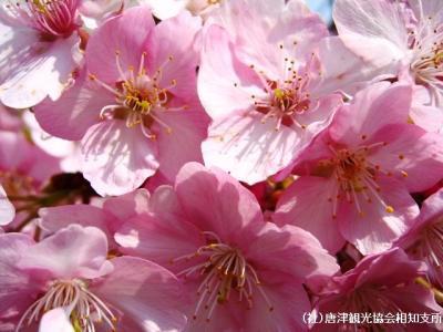 kanzakura2008030708.jpg