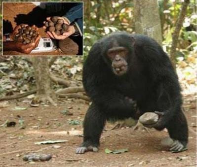 ナッツを持ち運ぶチンパンジー