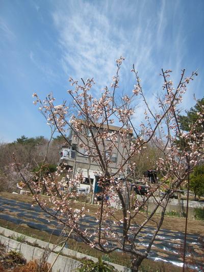 IMG_3710桜