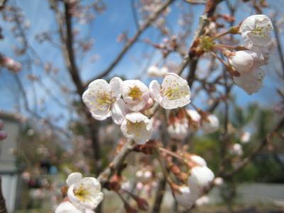 IMG_3712桜