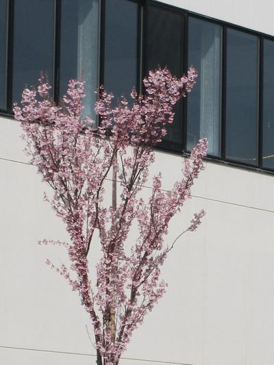 IMG_3808桜