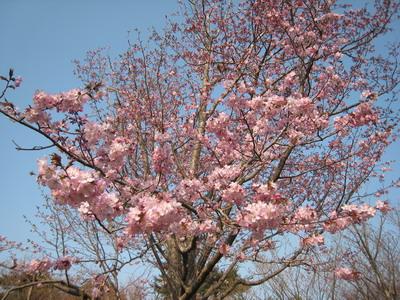 IMG_4064山桜