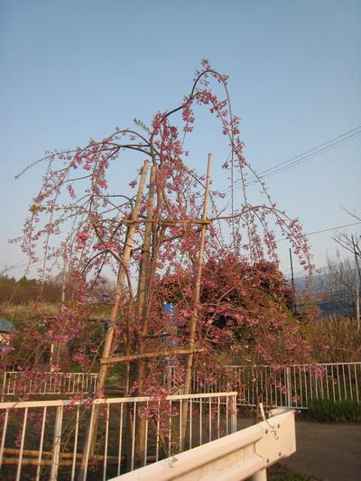 IMG_4184枝垂桜