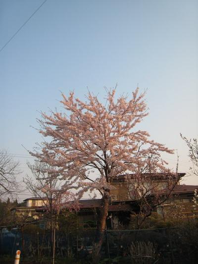 IMG_4189桜