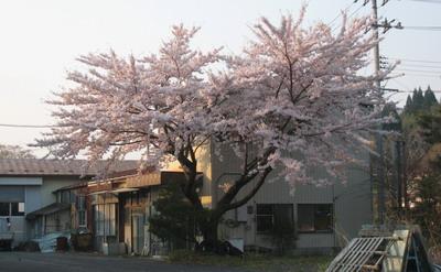 IMG_4198桜