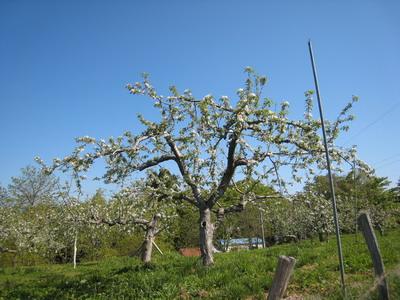 IMG_5241りんごの花