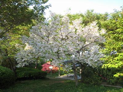 IMG_5425桜