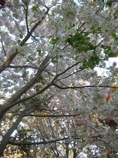 IMG_5430桜
