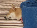 うにタオルケットで寝る