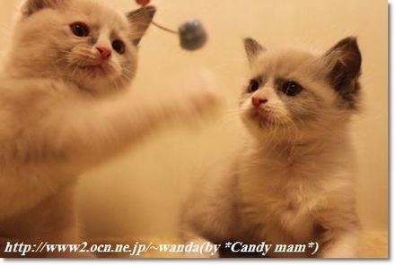 ラグドール 子猫写真