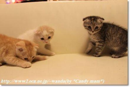 スコティッシュフォールド 子猫写真