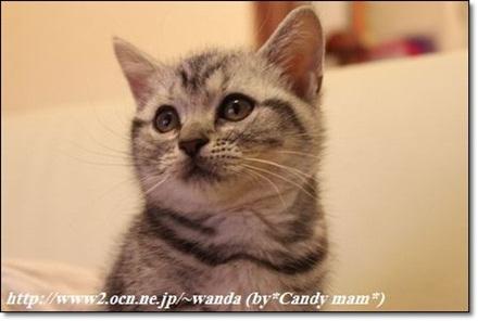 アメショー 子猫写真