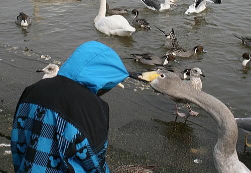 浅所 たか坊と白鳥