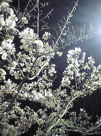 ジャスコの桜