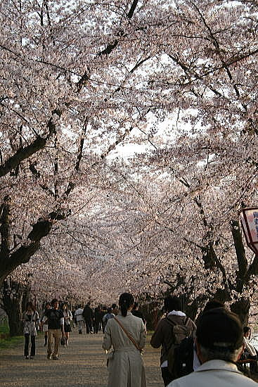 弘前公園夜桜 トンネル