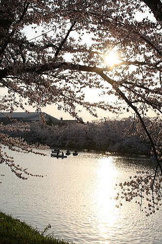 弘前公園夜桜 西