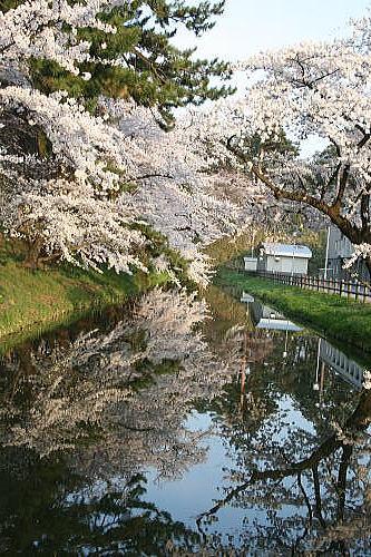 弘前公園夜桜 工業高校入り口