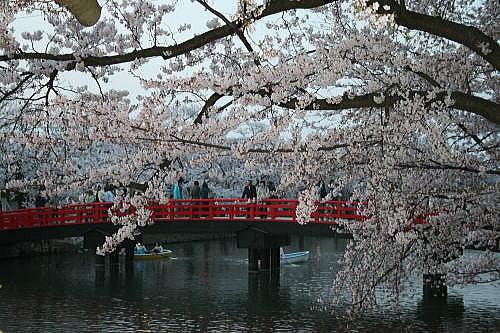 弘前公園夜桜 西壕③橋