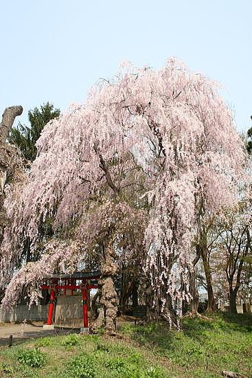 大星神社 枝垂桜
