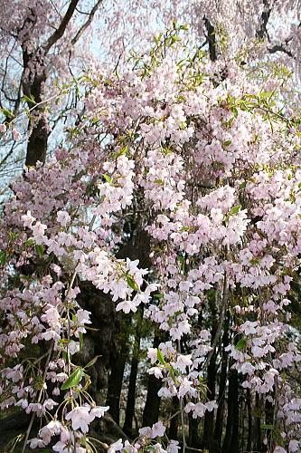 大星神社 枝垂桜②