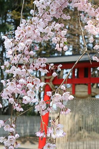 大星神社 枝垂桜③