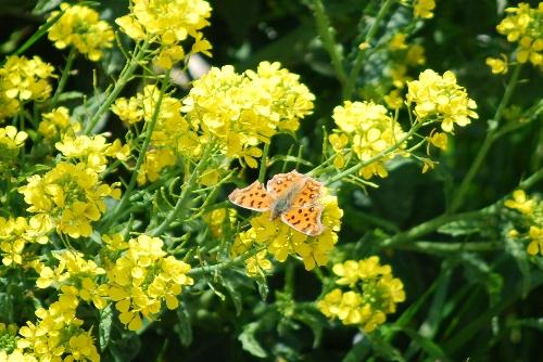 ナノハナ 蝶
