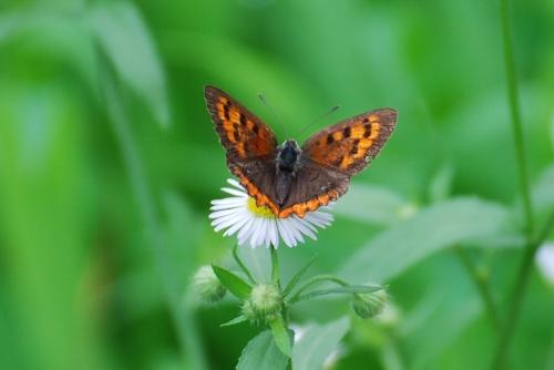 ヒメジョオン 蝶