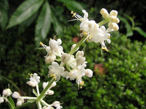 ヤブミョウガ 花