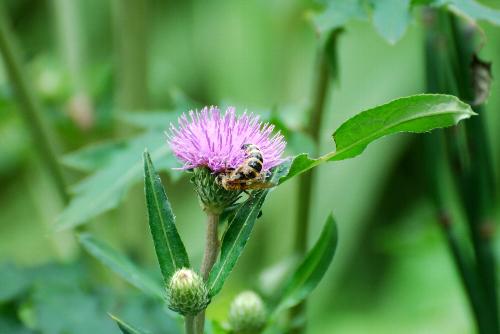 アザミ ハチ