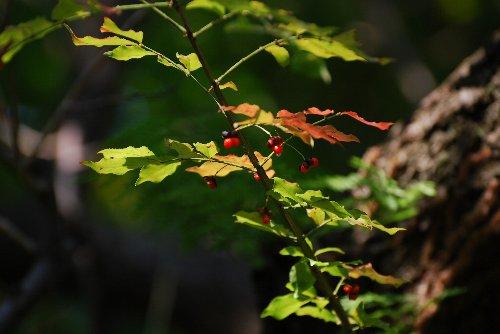 梅の木に寄生2?