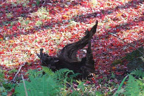 紅葉 木のね