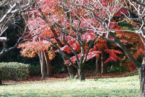 紅葉 大木