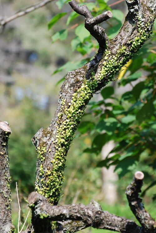 マメヅ 梅の木