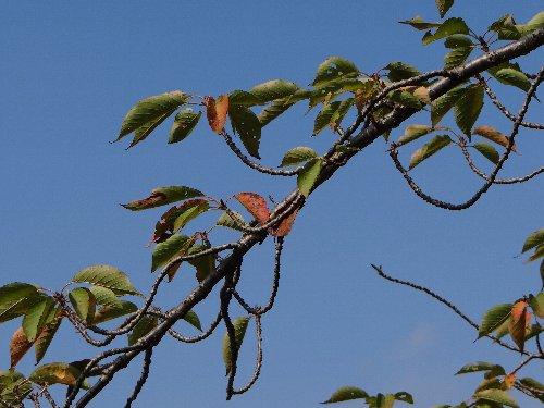 111031 八重桜