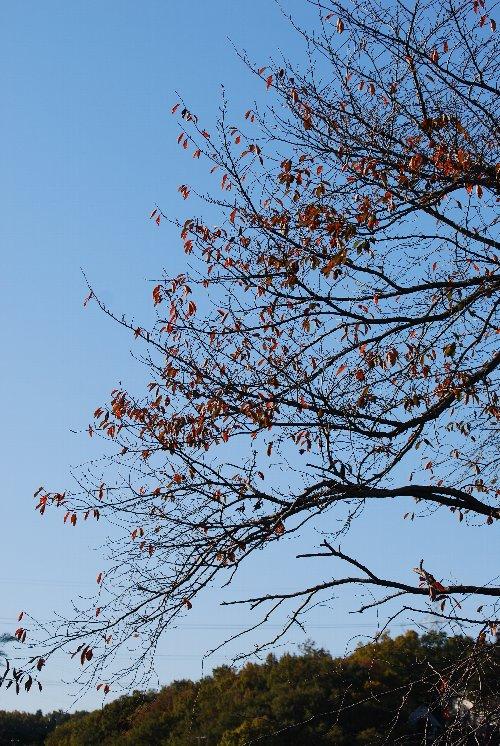 111203 八重桜