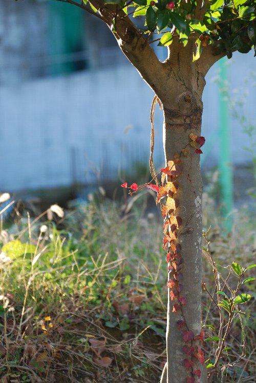 111203 木蔦 椿
