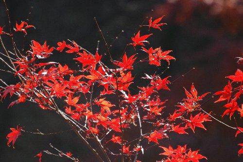 111221 紅葉