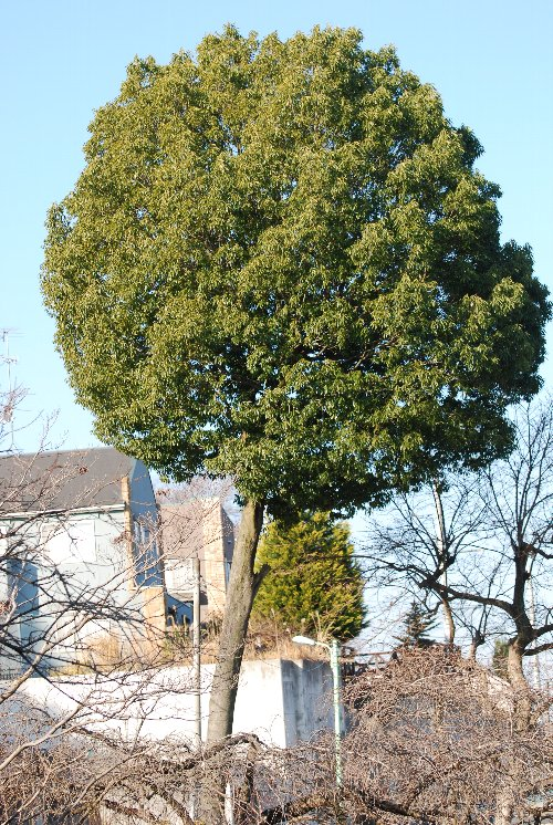 120112 おむすびの木