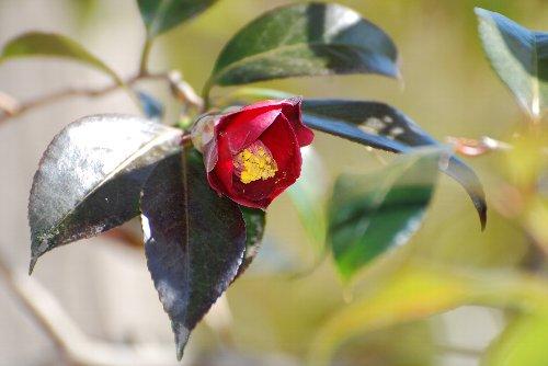 120127 寒咲藪椿