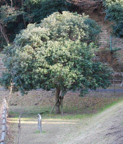 120130 ヤマモモの木