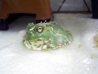 チャコガエル