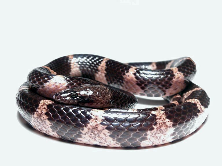 Lycodon fasciatus ?