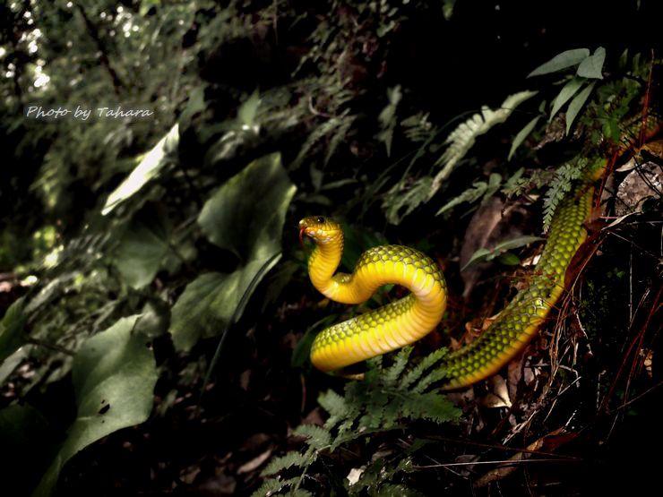 リュウキュウアオヘビ