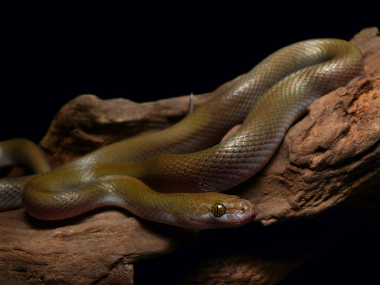 オリーヴイエヘビ