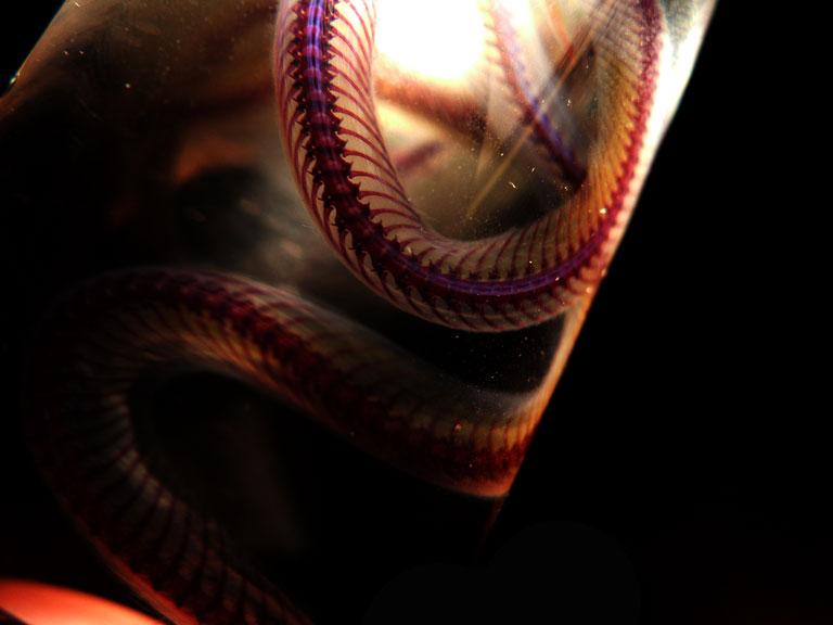 Nerodia fasciata