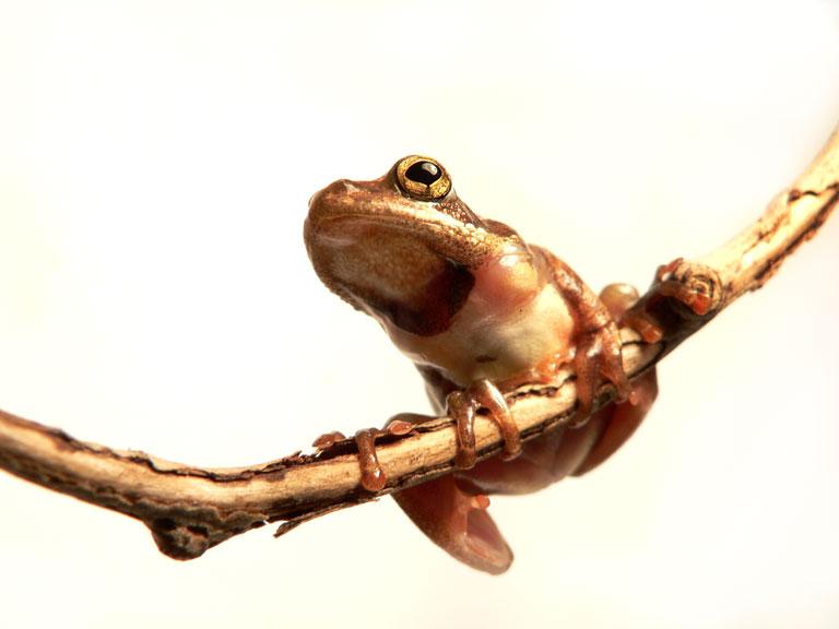 Hyperolius sp.