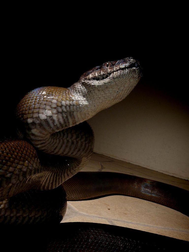 papuan python