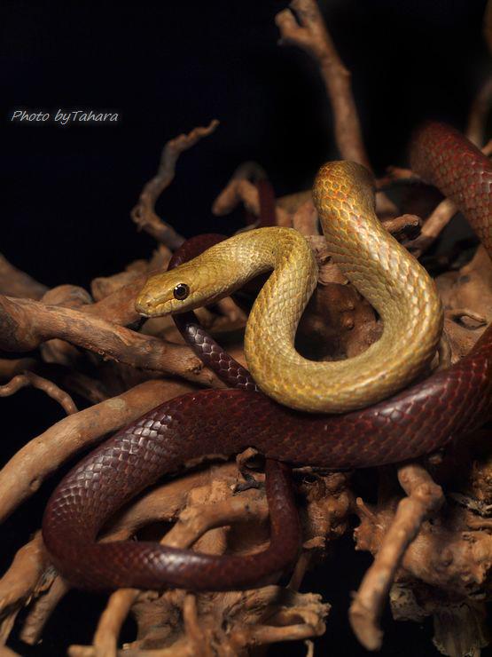 ペリネヨルモリヘビ